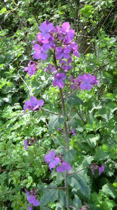 dames violet
